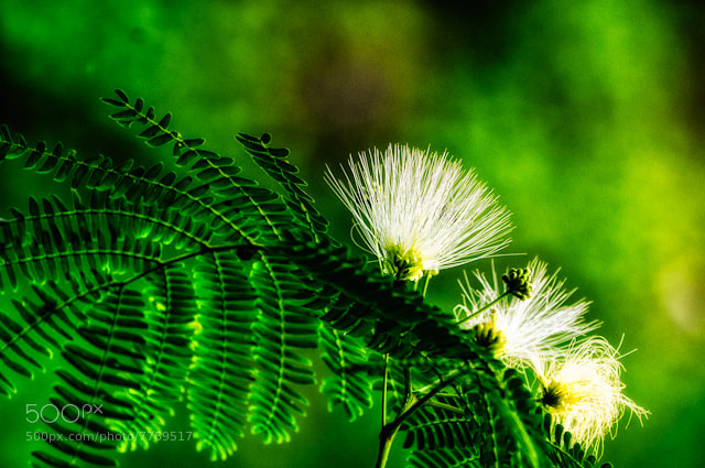 Photograph Mimosa Morning by Ron McKitrick on 500px