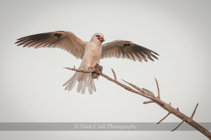 Photograph Feeding Kite by Nick Chill on 500px