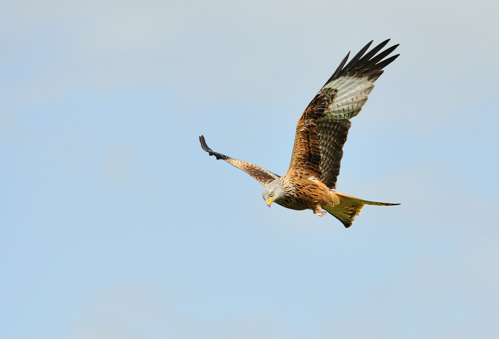 Photograph Red Kite by Geoffrey Baker on 500px
