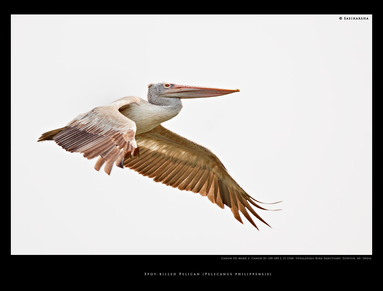 Photograph Pelecanus philippensis in flight by Sasi Harsha Vardhan on 500px