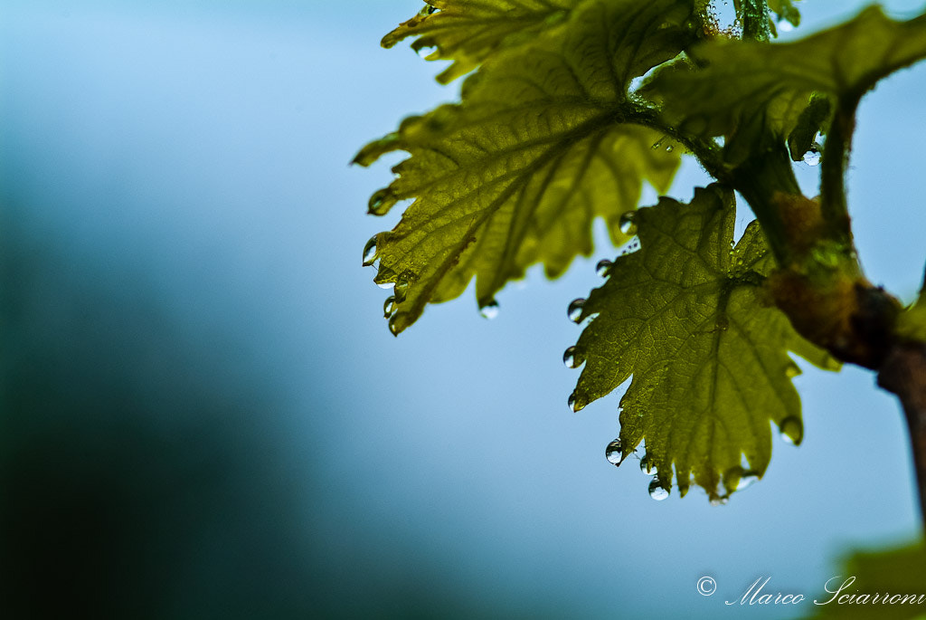 Photograph young vine leaves by Marco Sciarroni on 500px