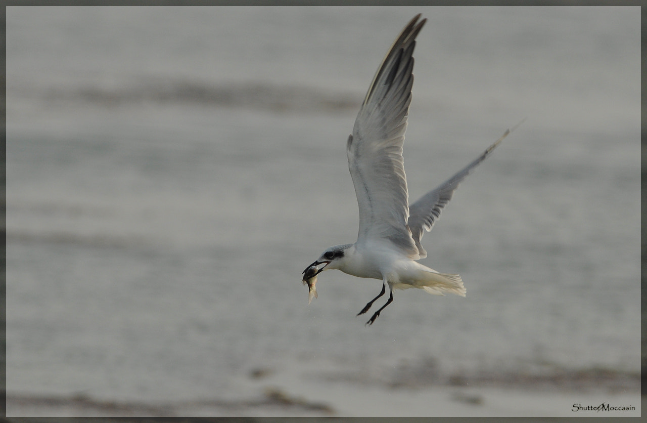 Photograph Gull-billed Tern by Nishant Shah on 500px