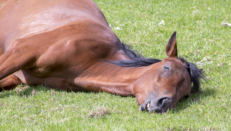 Photograph Sleeping Horse in the Sun by Colin Hunter on 500px