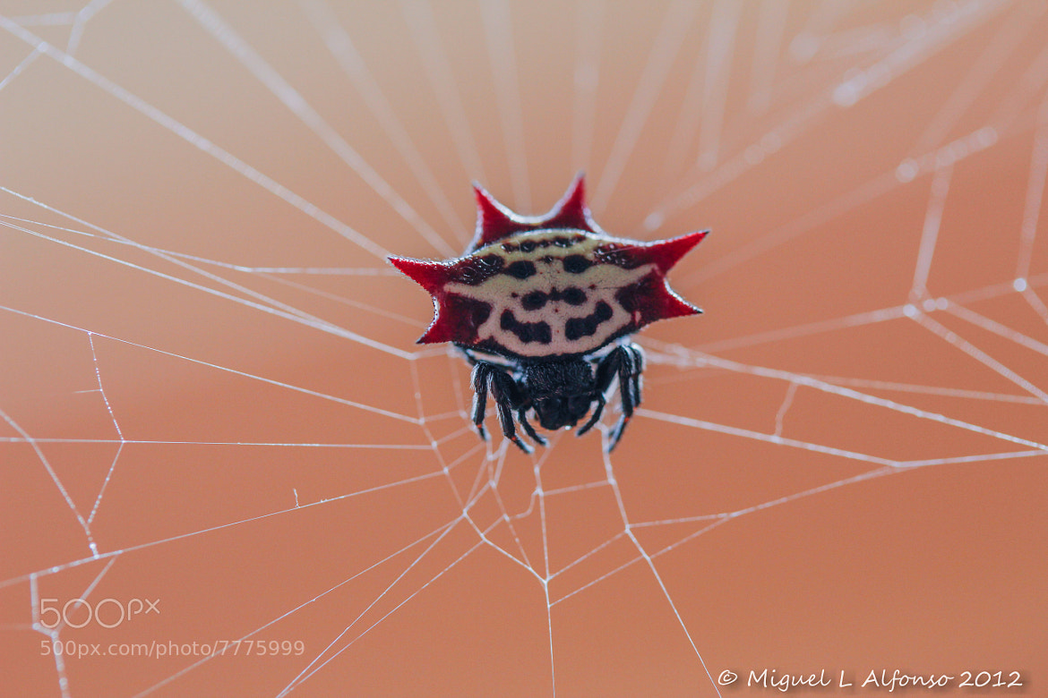 Photograph Spiny Orbweaver spider by Miguel Alfonso on 500px