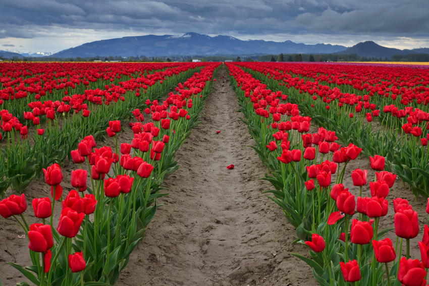Photograph Tulips at Mount Vernon by Helminadia Ranford on 500px