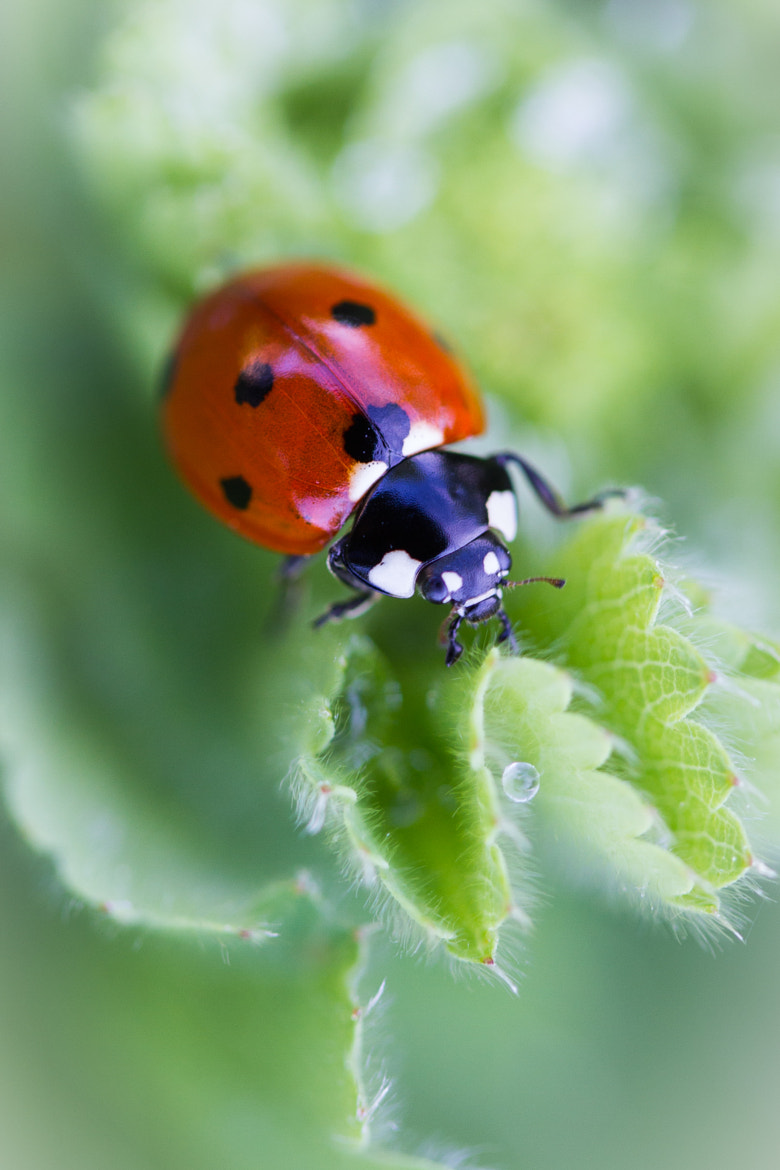 Photograph Coccinelle by Eric Dutoit on 500px