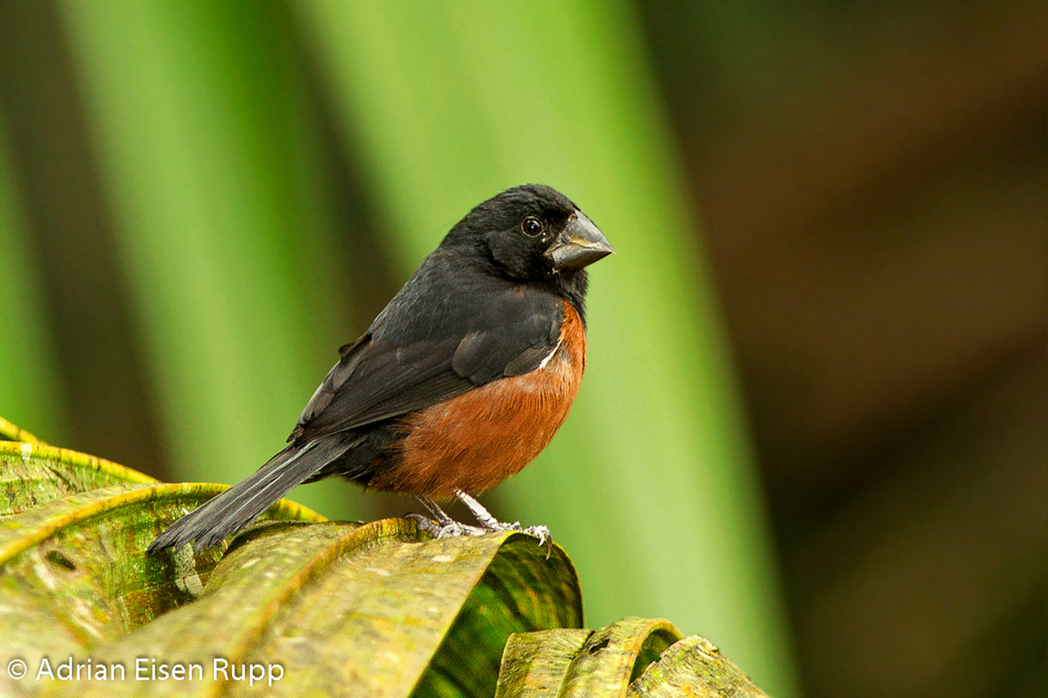 Chestnut Bellied Finch Photograph Chestnut-bellied