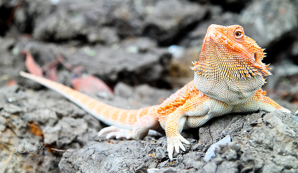 Photograph bearded dragon by varintorn sajjapallawanich on 500px