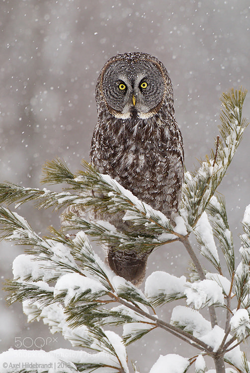 Photograph Great Gray Owl in Snow by Axel Hildebrandt on 500px