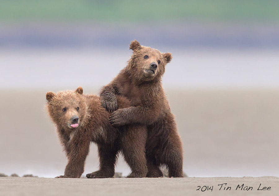 Photograph bear cub by Tin Man on 500px