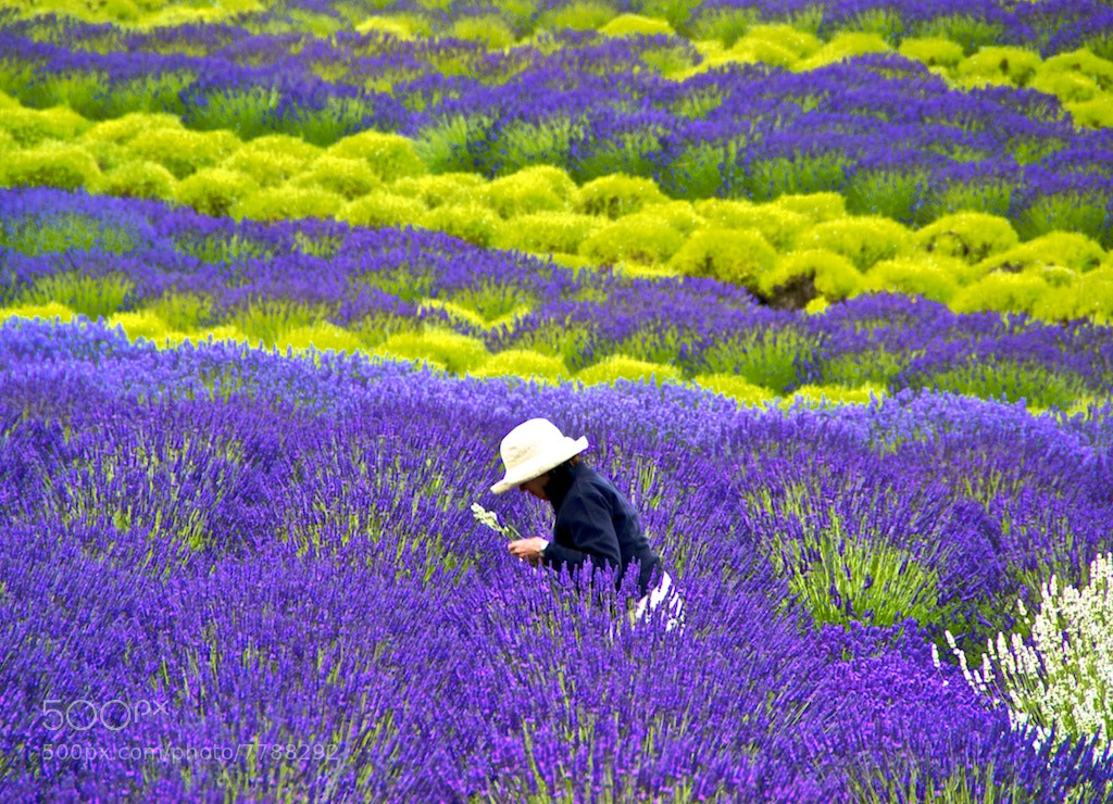 Photograph Gathering Lavender by daniel medalie on 500px