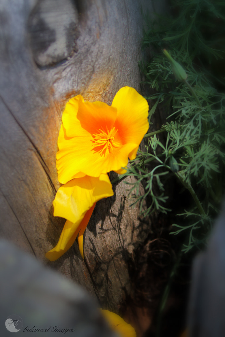 Photograph California Popping Poppy by Todd Livermore on 500px