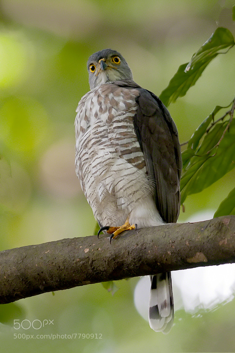 Photograph Crested Goshawk by Allan Seah on 500px