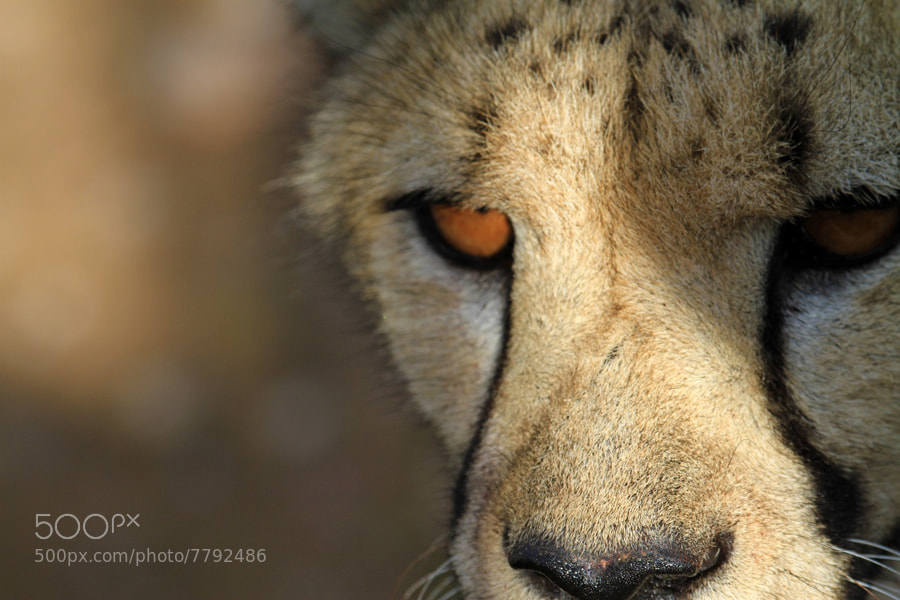 Photograph Cheetah sun in the eye - Namibia by Benjamin Nocke on 500px