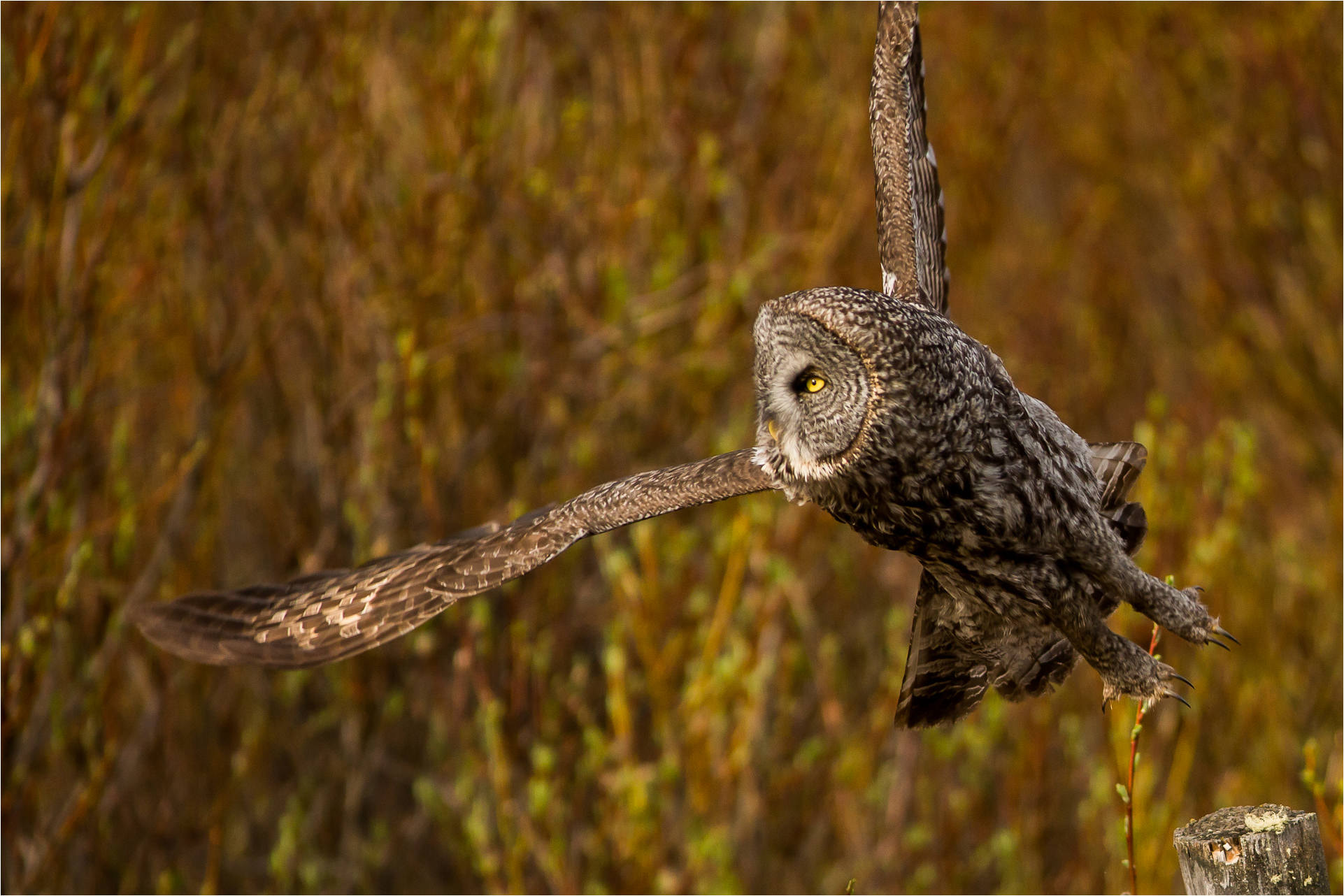 Photograph Great Gray Owl Launch by Christopher Martin on 500px