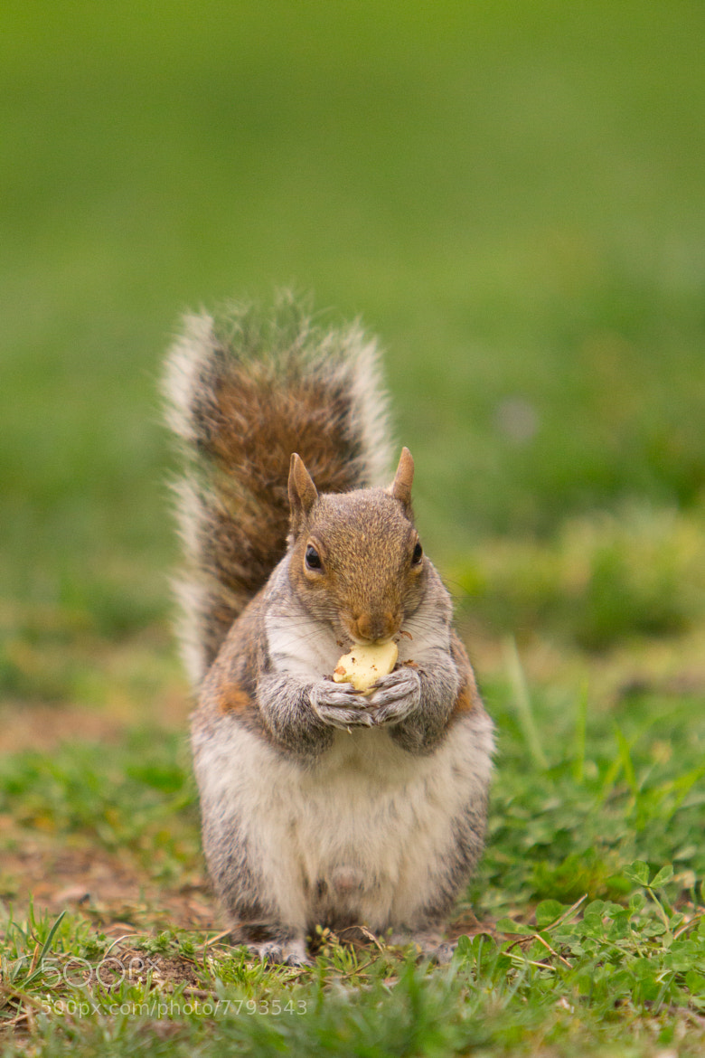 Photograph Squirrel by Alexander  Zhuk on 500px