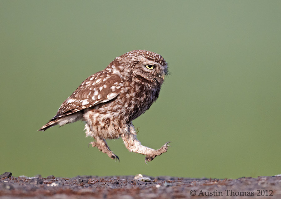 Olympic Little Owl