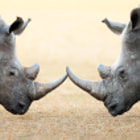 Постер, плакат: White Rhinoceros head to head