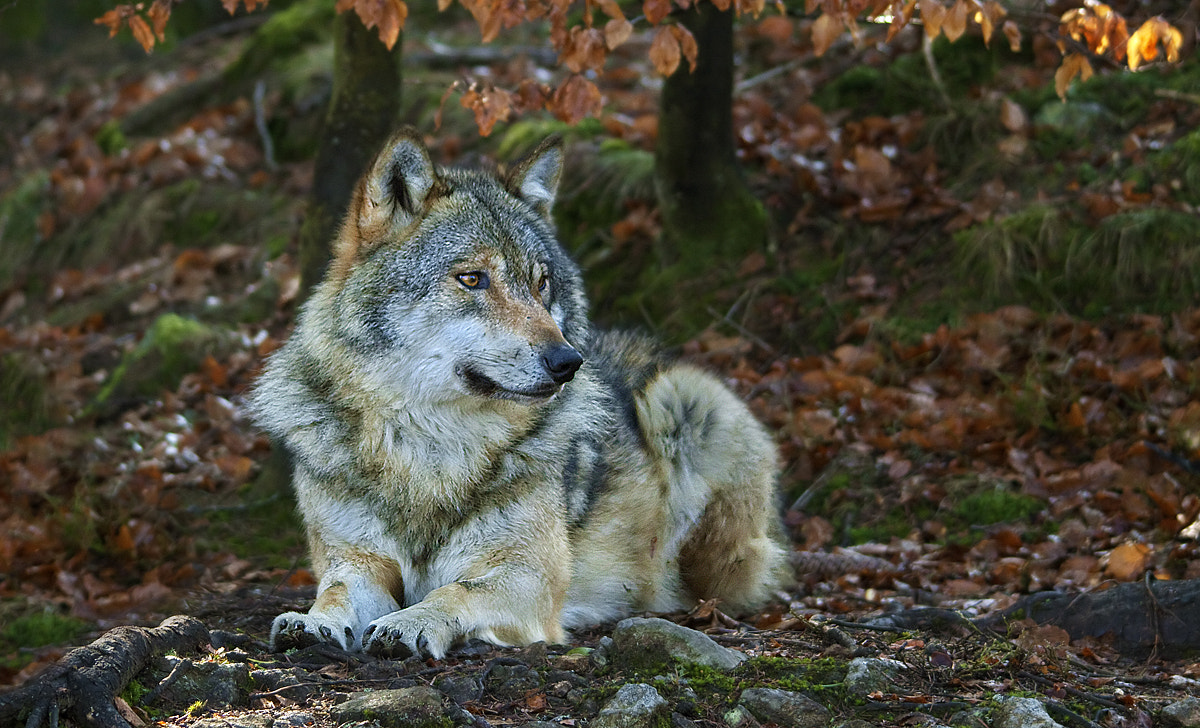 Photograph The wolf by Simone Marchiori on 500px