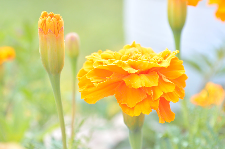 Photograph marigolds yellow by Papanikolaou Joanna on 500px