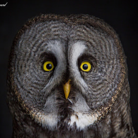 Great Grey Owl by Emil Steen Sanggaard (sanggaard)) on 500px.com