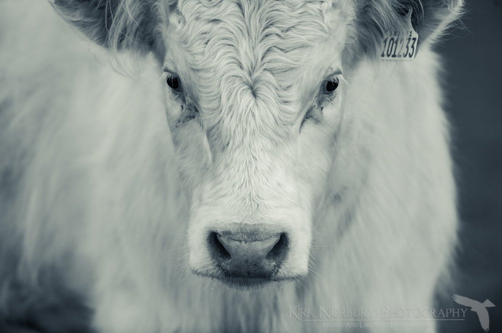 Photograph Evil Cow by Kirk Norbury on 500px