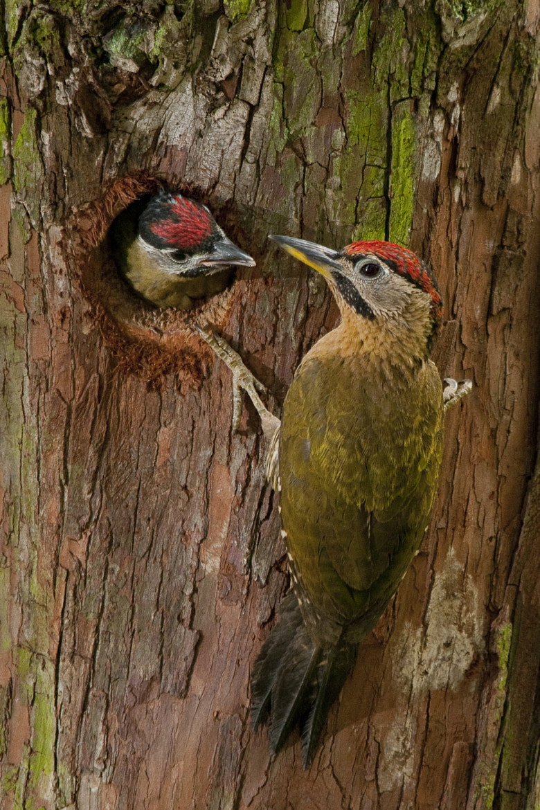 Photograph Lace Woodpecker with Chick by Allan Seah on 500px