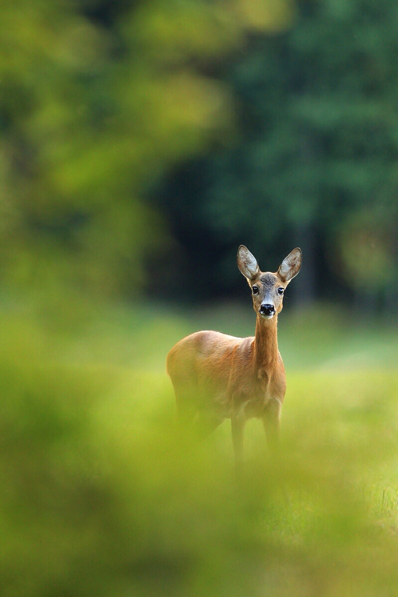 Photograph capreolus by Helena Kuchynková on 500px