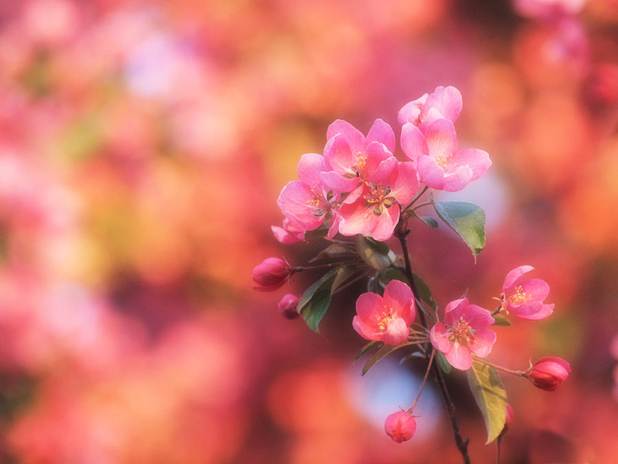 Photograph Flowering Crab Apple by Peter Baumgarten on 500px