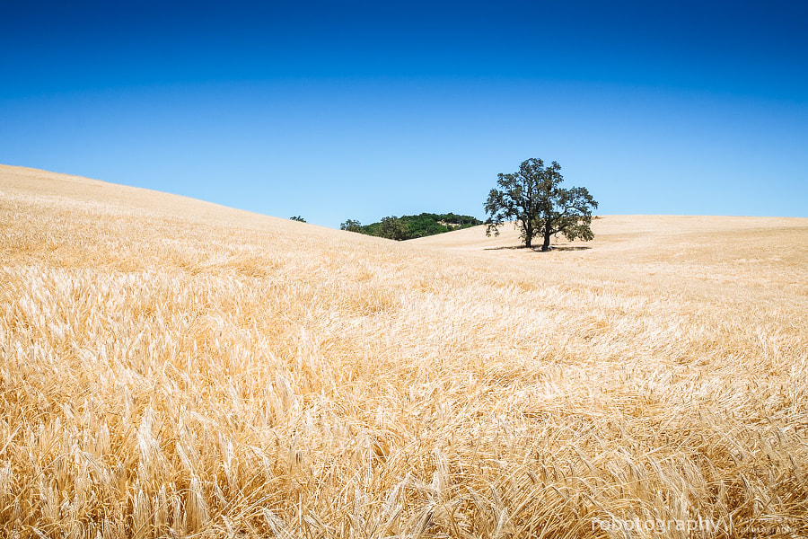 California Wheat