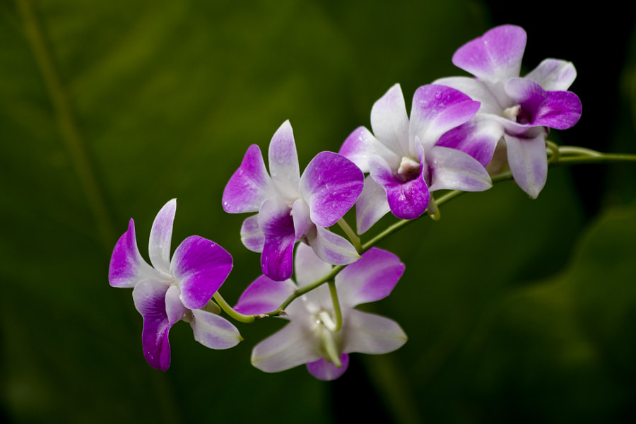 Purple & White Dendrobium Orchid