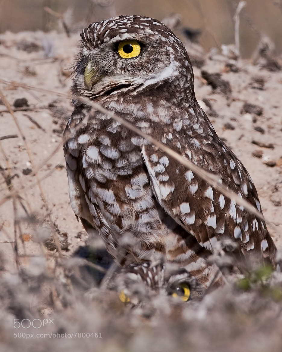 Photograph Burrowing Owl ( Chouette des terriers ) by bruno Lazzoni on 500px