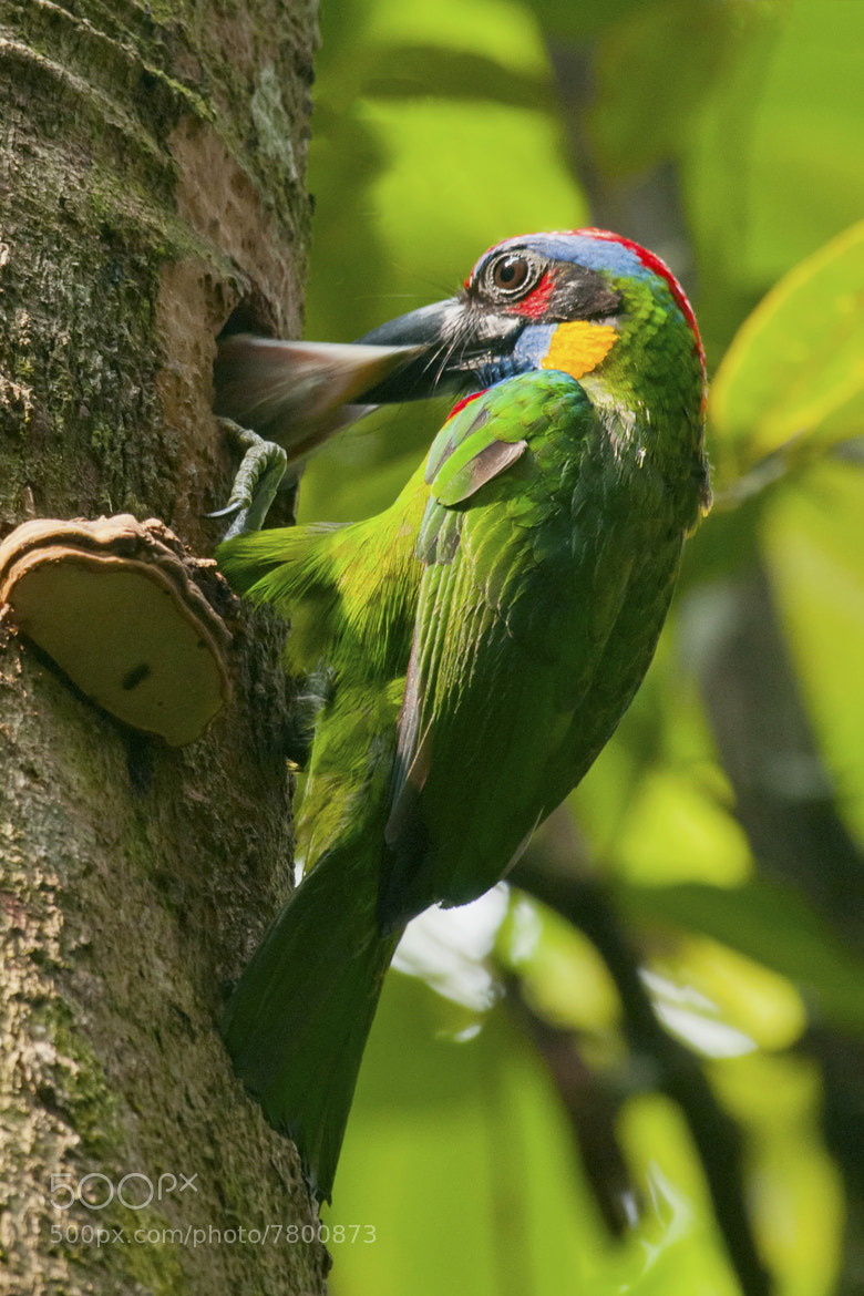 Photograph Red-crowned Barbet feeding Chick by Allan Seah on 500px