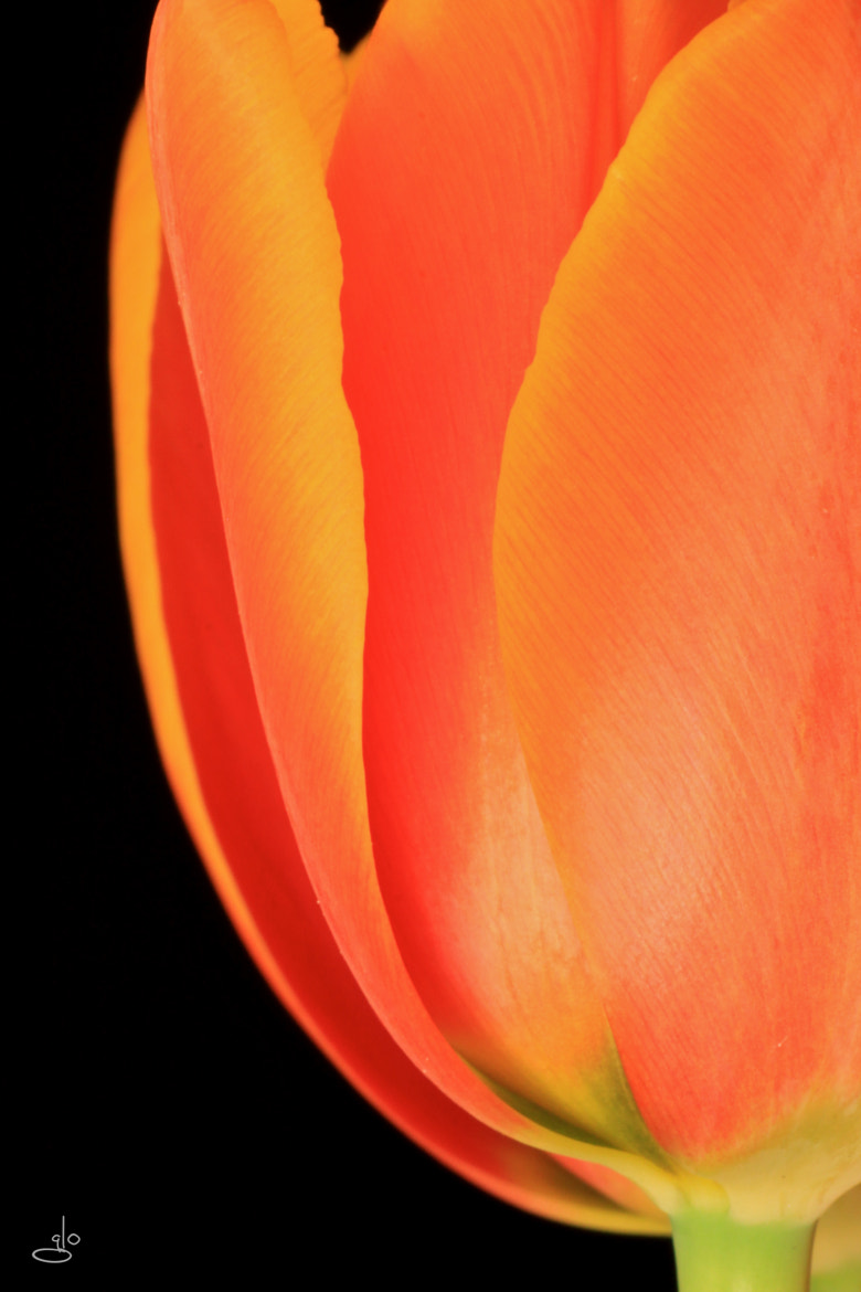 Photograph Orange tulip by Glo Photography on 500px