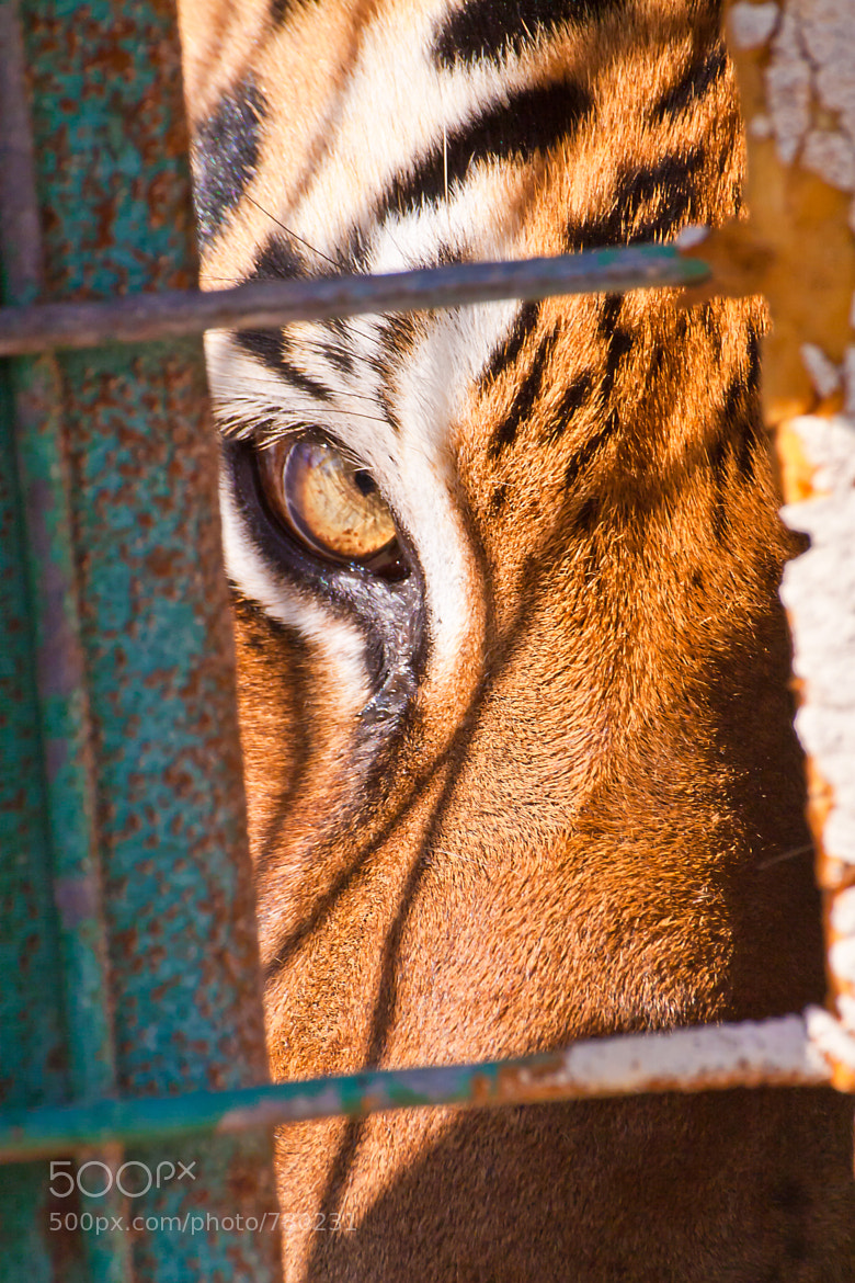 Photograph Tiger's Eye by Stephen Miller on 500px