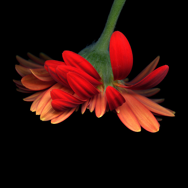 Photograph   ANOTHER FACET of A GERBERA... by Magda Indigo on 500px