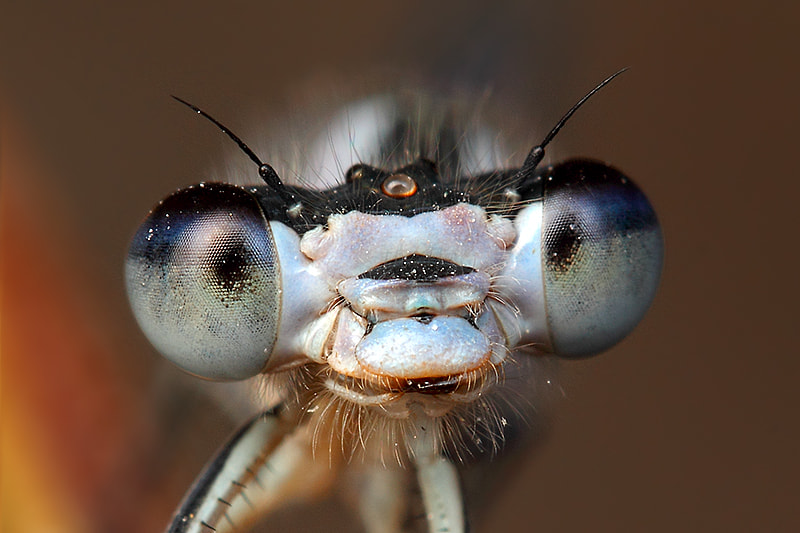 Photograph Damselfly by Paulo Torck on 500px