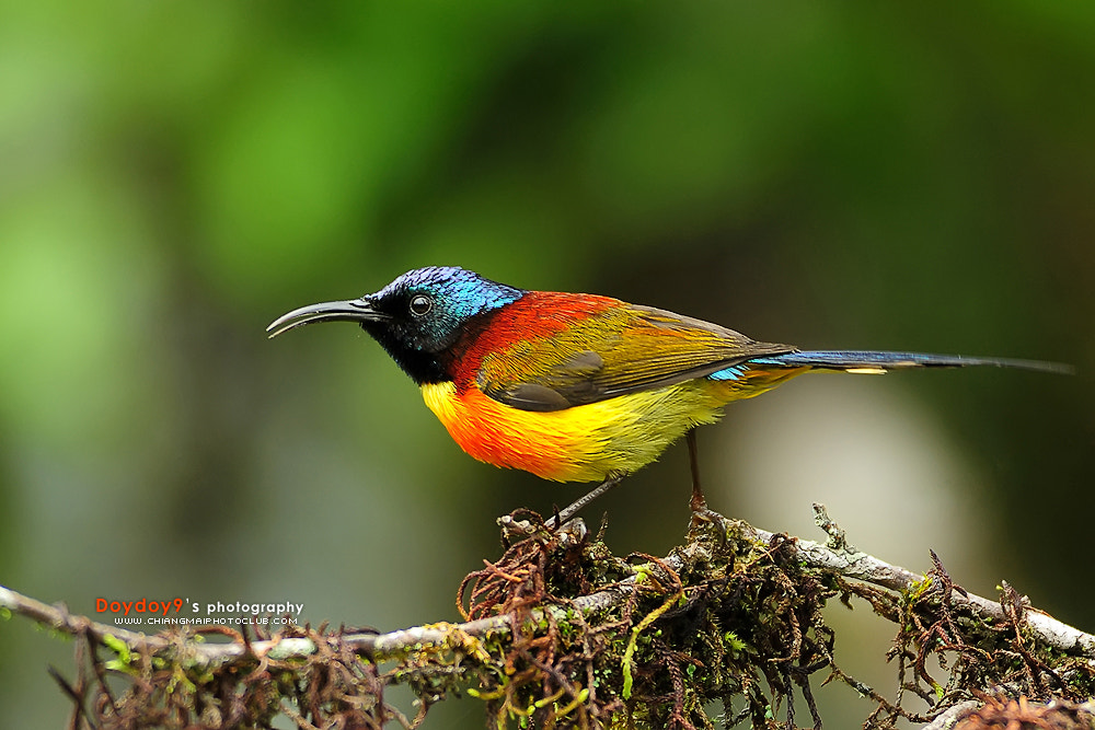 Photograph Green-tailed Sunbird Male by Doy Pdamobiz on 500px