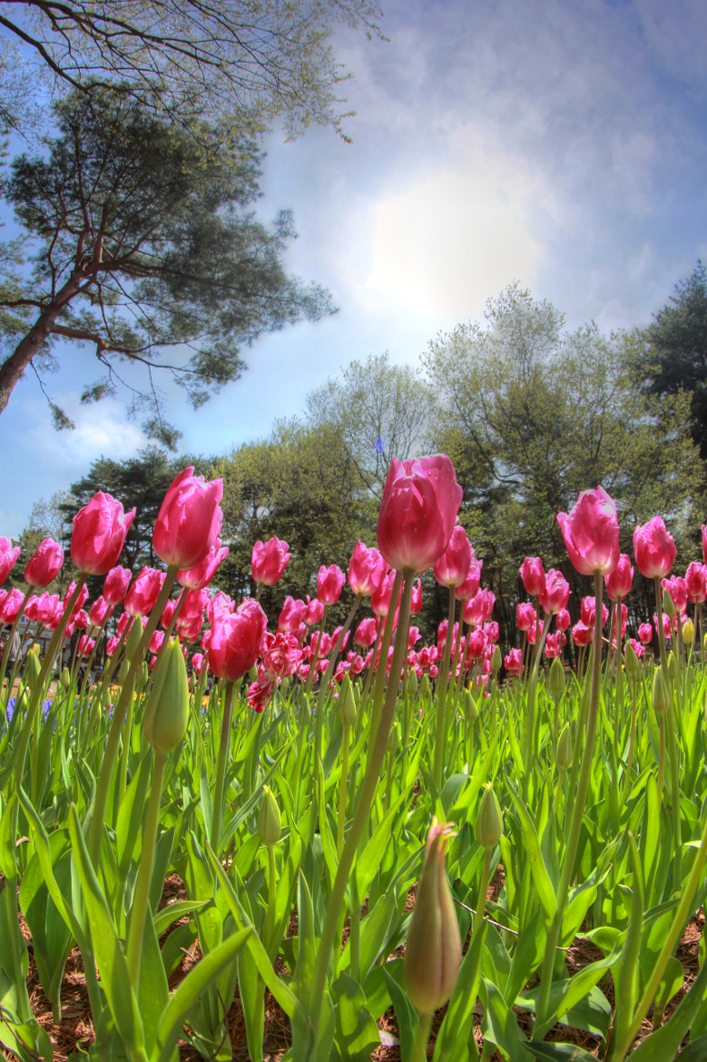 Photograph Tulips. by Toshi Sakai on 500px