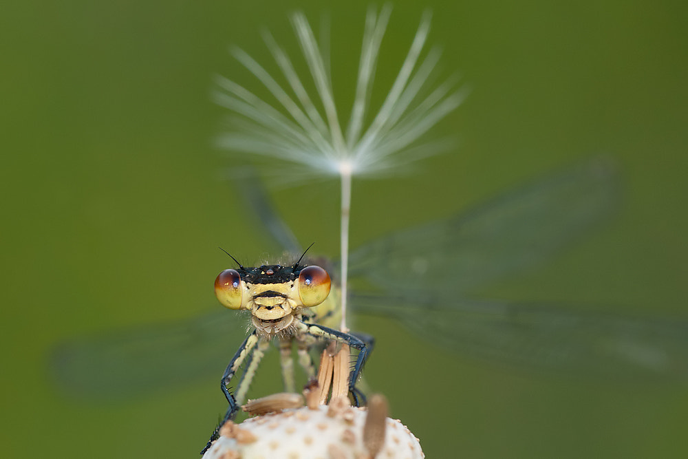 Photograph Great red-damselfly by Tom  Kruissink on 500px