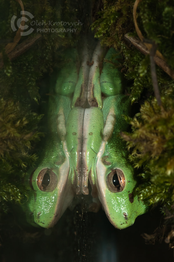 Photograph Tree-Frog by Oleh Krotovych on 500px