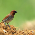 Постер, плакат: Spice finch on a muddy pitch