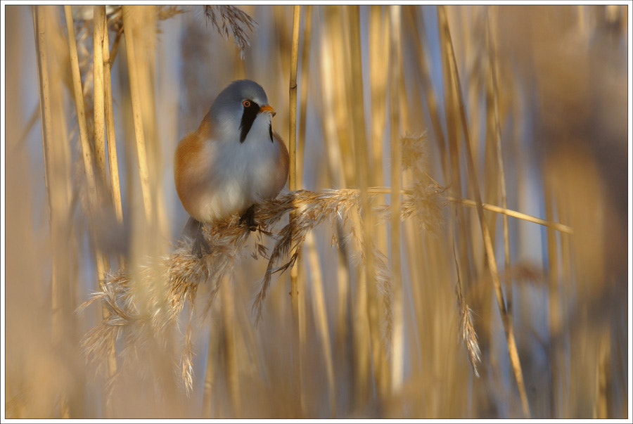 Photograph Bearded Tit by N Mikael Svensson on 500px