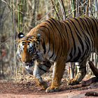 This massive hulk is from Kolsa range of Tadoba. Known as Shivaji, he is the un-contested king of Kolsa. He is also a responsible father taking care of two fully grown male cubs of 1.5 years.. Apparently, these two cubs hang out with him all the time while the female cub is her mamma's girl..