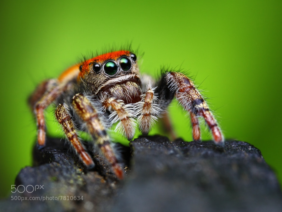 Photograph Phidippus whitmani by Tomas Rak on 500px
