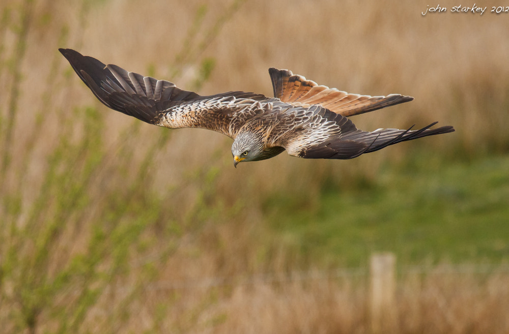 Photograph Red Kite by John Starkey on 500px