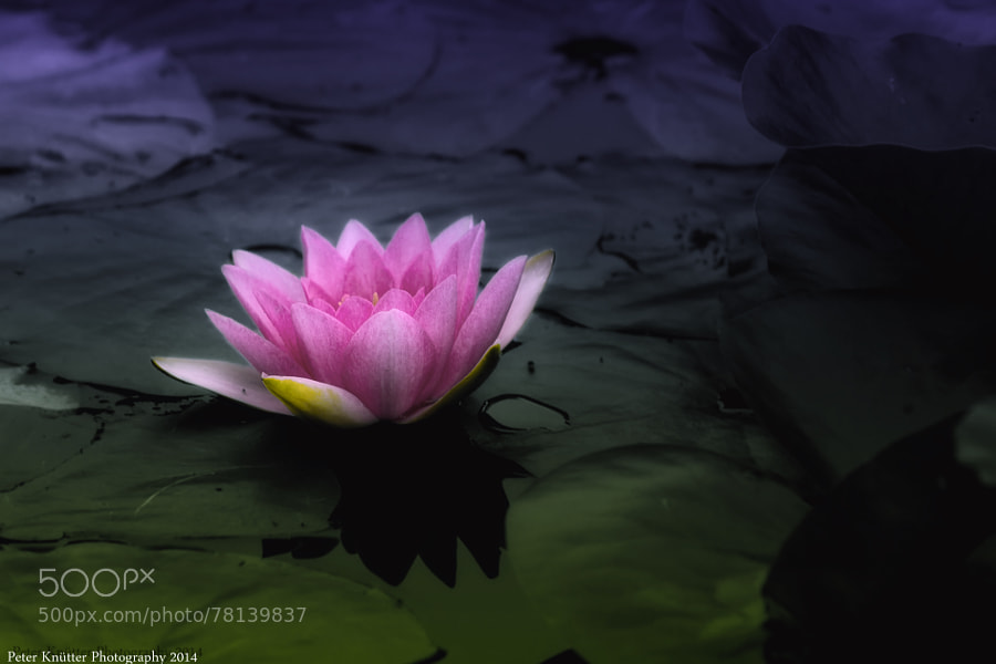Photograph water lily by Peter Knütter on 500px