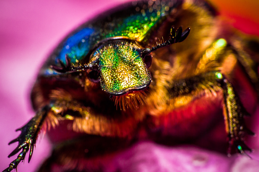 Photograph Flower chafer II by Jan Plaček on 500px