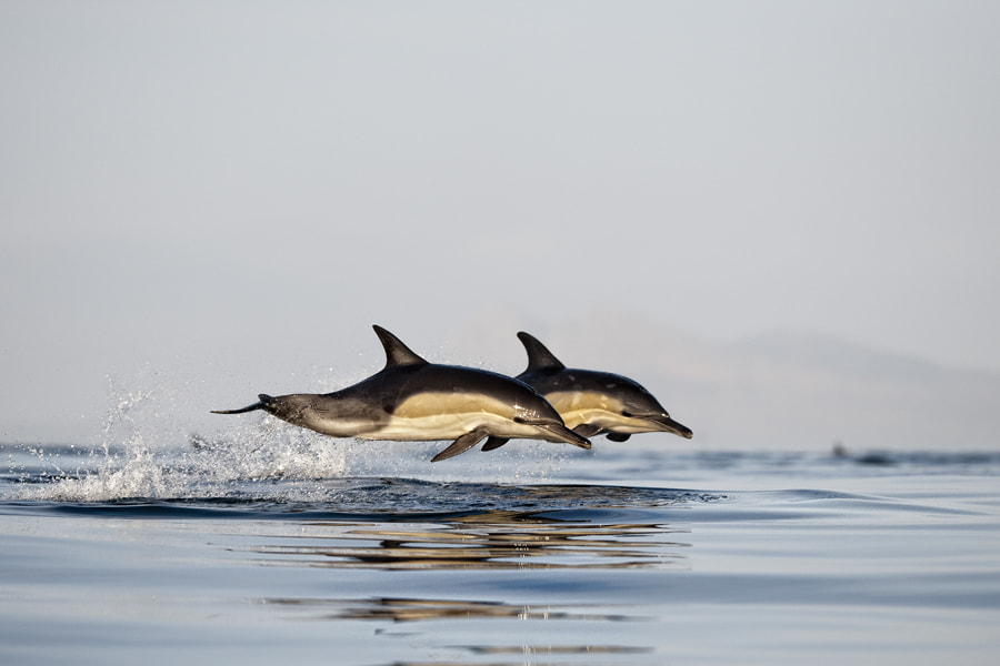 Photograph Dolphins by Alfred Weissenegger on 500px