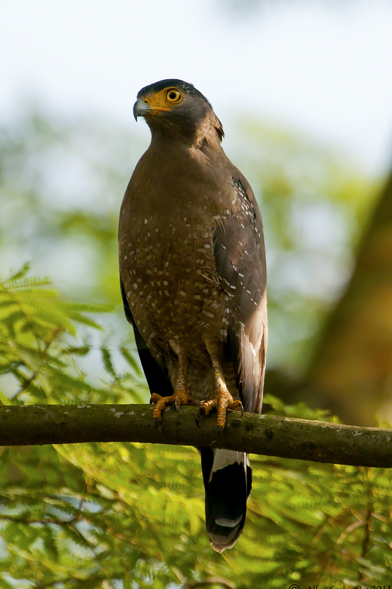 Photograph Crested Serpent Eagle by Allan Seah on 500px